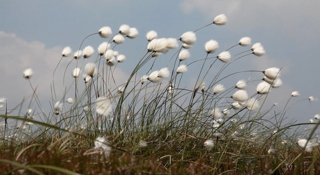 50Steps_CottonGrass